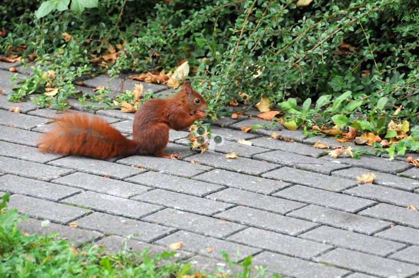 Un écureuil se nourrissant d'une noisette