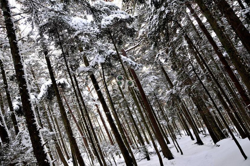 Forêt du Mont Sainte Odile sous la neige