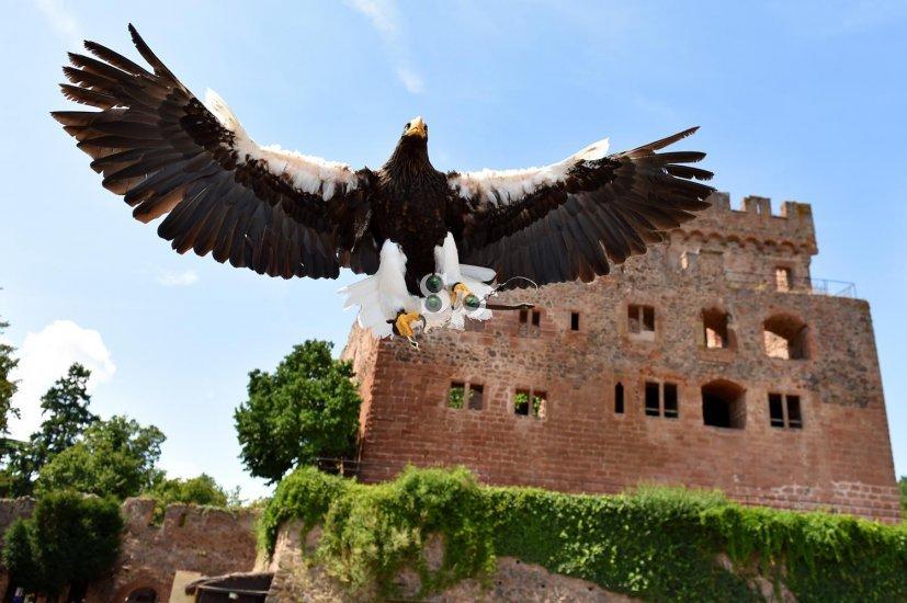 Photo animalière, pygargue empereur, volerie des aigles, Kintzheim