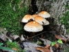 champignon-(42)