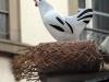 poule-et-coq(1)